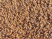 USA White Sorghum Premium Quality