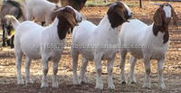 Quality Boer Goats for Sale at cheap price