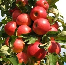 Bulk fresh fruits apples golden apple