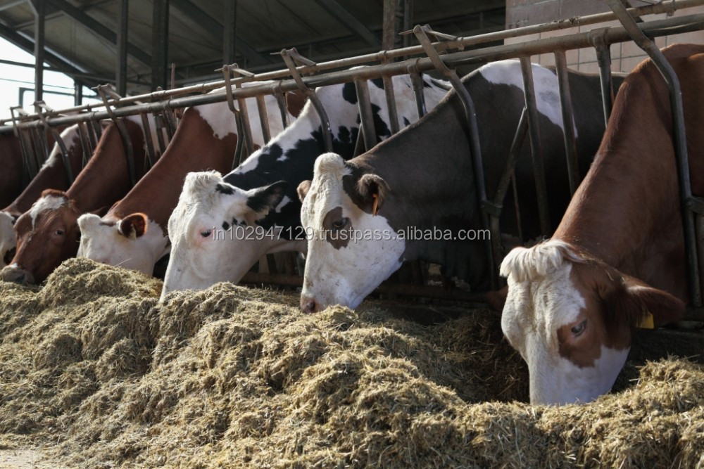 Probiotic for Dairy Farming and healthy Milk Production