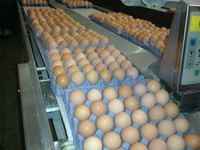 High Fresh Table Eggs Brown And White: 40g-50g-60g-65g-70g For Sales Best Price
