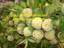 Lowest Price Fresh Custard Apple.