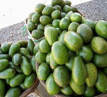 HIGH QUALITY FRESH AVOCADO FRUIT $840 PER TON