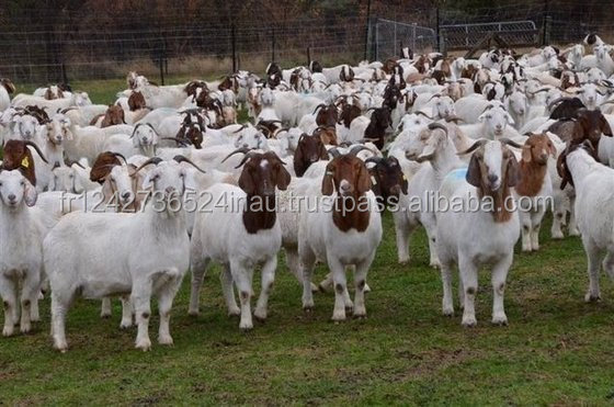 100% Full Blood Boer Goats, Live Sheep, Cattle, Lambs Ready for Export forsale at a low rate