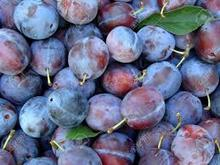 fresh plum price , Fresh Black Plums , Fresh plums for sale
