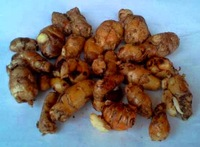 Kencur / Aromatic Ginger / Sand Ginger / Cutcherry / Resurrection Lily (Kaempferia galangal)