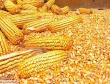 Wholesale yellow dry corn for animal feed with best price