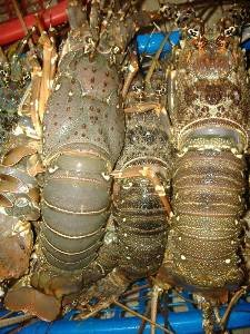 Live canadian lobster / Live lobsters