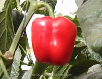 High yield high quality high resistant Pepper seeds for planting