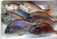 Red Frozen Sea Bream Fish