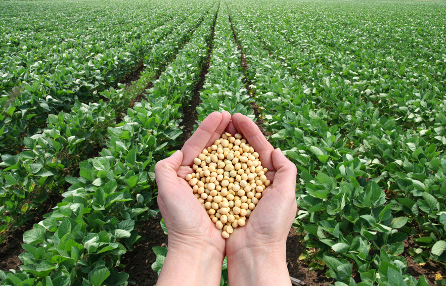 soybeans /soya bean (8.0mm) with high quality ( Premium Grade )