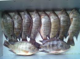 FROZEN BLACK TILAPIA FISH WHOLE ROUND