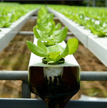 Natural Plant Growth Promoter for Hydroponics
