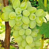 High Quality Fresh Green Seedless Grapes