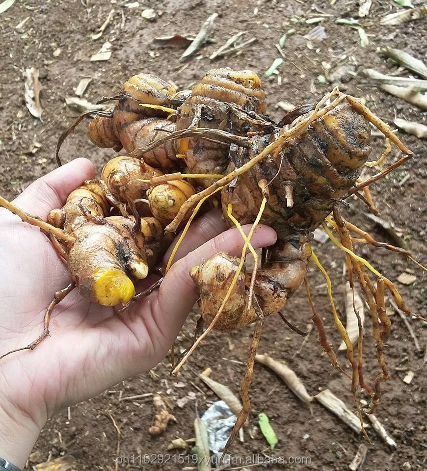 Freshly Picked Turmeric