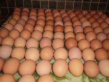 WHITE AND BROWN FRESH TABLE EGGS, HATCHING EGGS Price