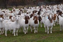 Pure Bred Boer Goats, Live Sheep, Cattle, Lambs and Cows
