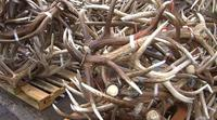 DEER AND STAG ANTLERS 100% NATURAL