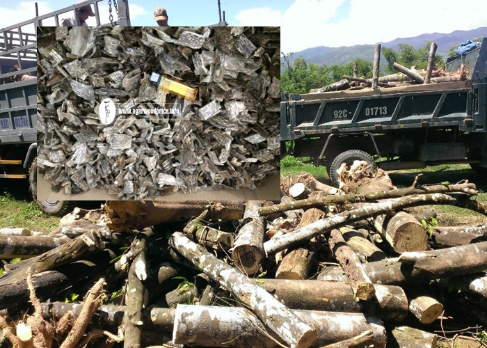 Large supply ability from agarwood plantation to get Oud wood chunk or agarwood chips from Vietnam