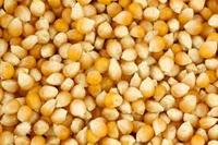 Animal Feed yellow Maize / Corn