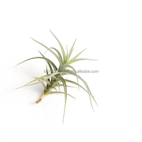 "Air Plants Tillandsia "" Aeranthos "" by Joinflower Joinfolia"