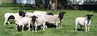 Dorper Sheep Available with good prices