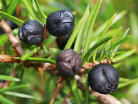 Juniper berry Oil for Weeping Eczemas