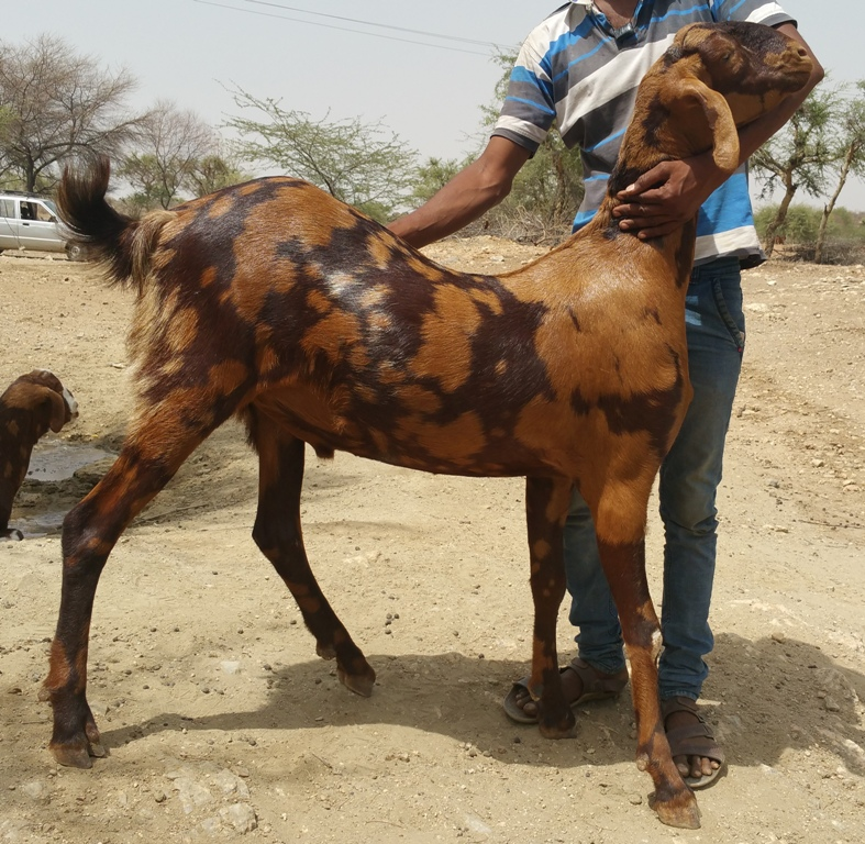 BEST QUALITY SIROHI LIVE GOAT BREEDING BUCK FOR FARMING