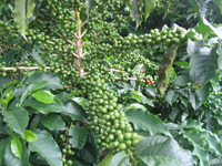 Arabica Coffee Green