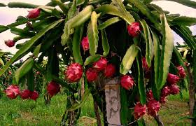 FRESH RED DRAGON FRUITS / FROZEN, DRIED AND FRESH AVAILABLE !!.