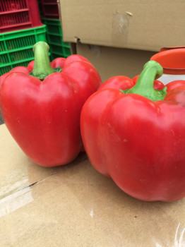 DALAT FRESH CAPSICUMS / BELL PEPPER +84963818434 whatsapp