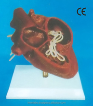 HEARTWORM DISEASE MODEL OF A DOG (OR CAT)