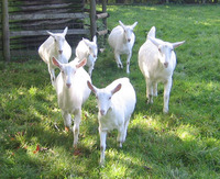 Pregnant Saanen Goats available
