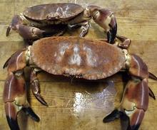 Live Dungeness Crabs from USA