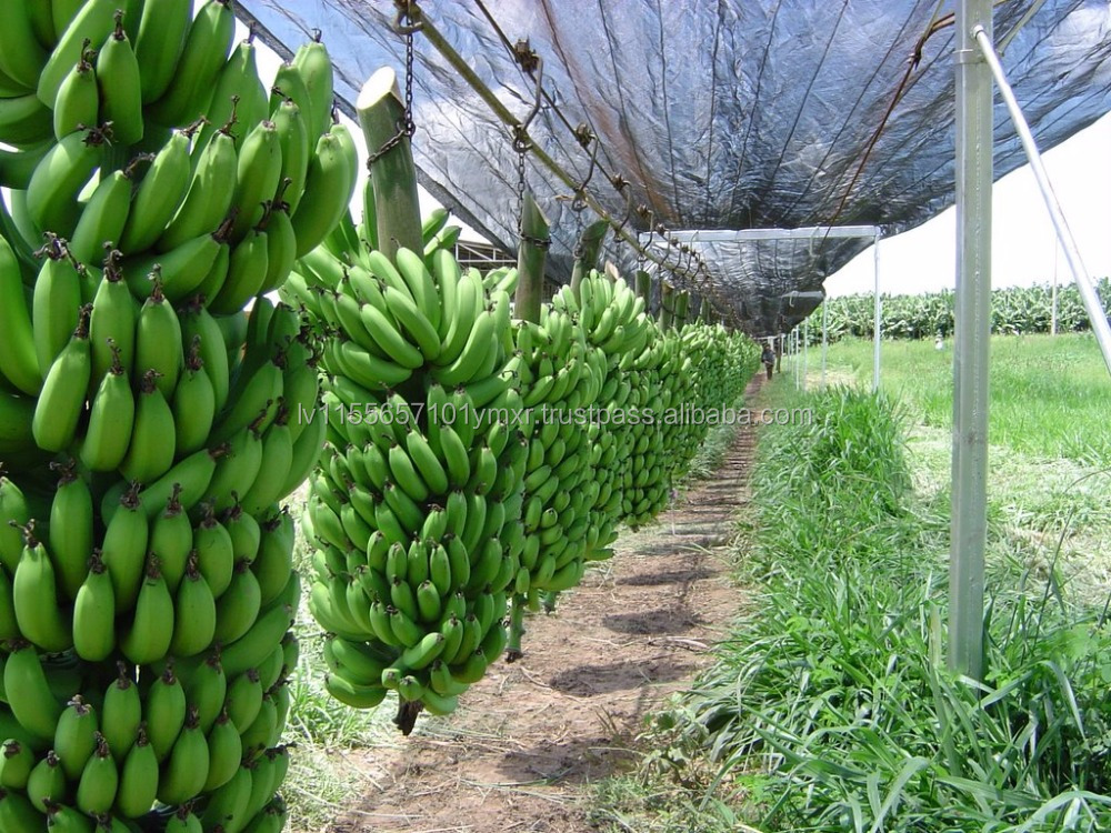 ECUADOR IMPORTED FRESH GREEN CAVENDISH BANANAS FOR SALE