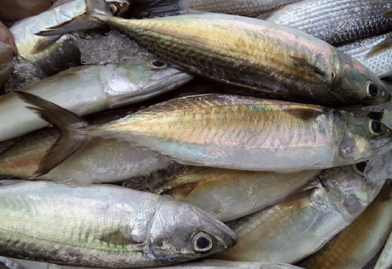 Supply A Variety of Size Frozen Mackerel Fish