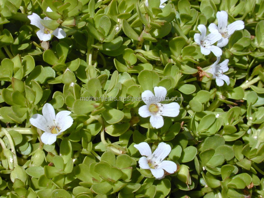 Bacopa Monnieri Brahmi Leaf for tea