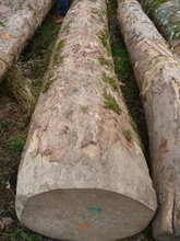 Best cheap European Walnut Logs , lumber KD 10-12 % ,Spruce wood logs