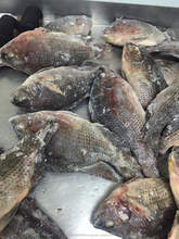 High Quality Seafood Product Red and Black Frozen Tilapia For $1