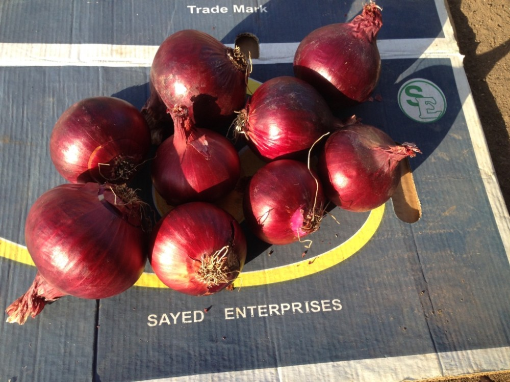 Fresh yellow onion High Quality Onions best market price (red onion2017)