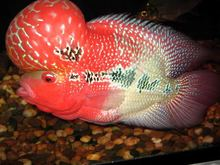 Flower Horn Fish / Chili Red Arowana Fish / Black Diamond Stingray Fish