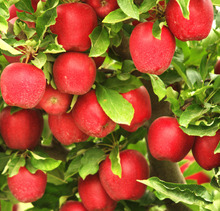 Fresh Red Apples/Fresh Green Apples Cheap Price