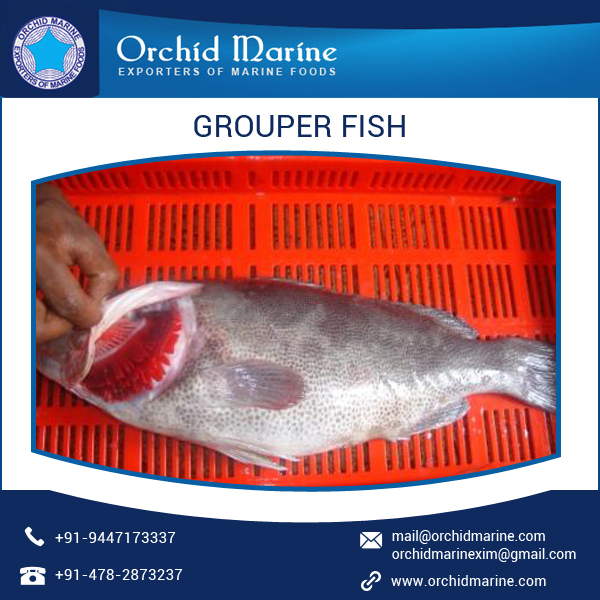 100% Top Grade Grouper Fish Supplier at Cheap Rate