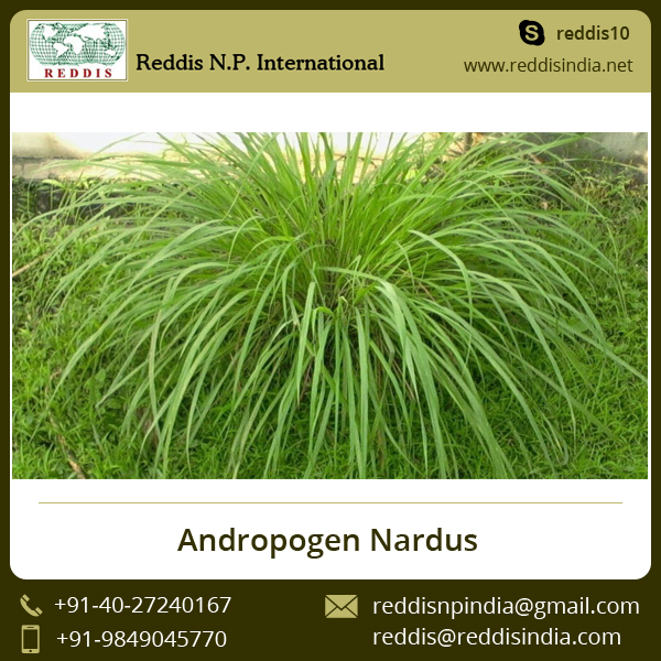 Andropogen Nardus / Citronella leaves and Roots Widely Used in Cosmetics