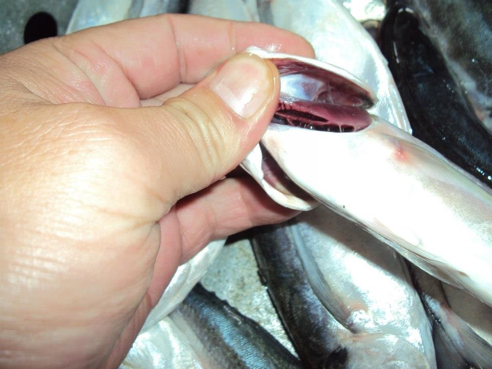 High Quality Horse Mackerel /Pacific/Indian/Atlantic Mackerel fish for sale
