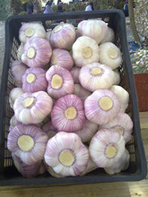 New Fresh White Garlic Wholesale price from Egypt