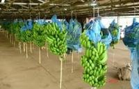 Top Quality Fresh Banana From Cameroon