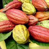 Cacao bean / cocoa (Organic certified)