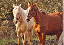Probiotic Feed Supplement for Healthy Weight Gain in Horses