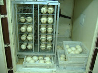 ...Ostrich Eggs, Feathers and Chicks available.............